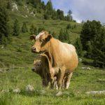 牛のゲップのメタンを減らすことができるのか
