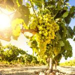 ワインもサステナビリティの時代!単一認証に向けてイタリアが動き始めた